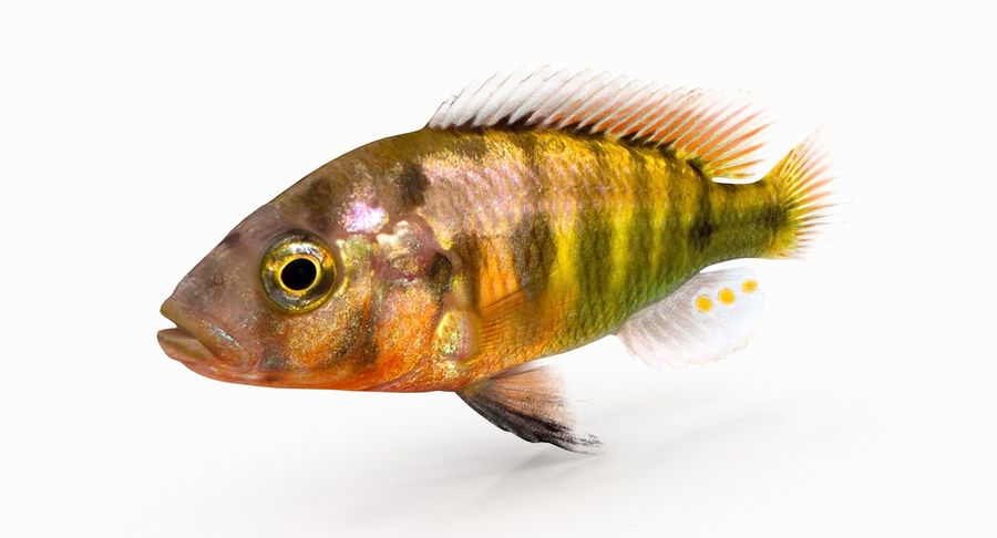 Pundamilia Cichlid royalty-free 3d model - Preview no. 3