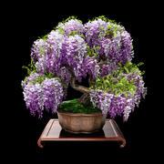 紫藤盆景 3d model