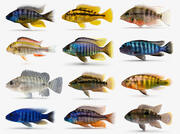 Cichlid Fish Collection 3d model