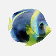 Fish Angel 3d model