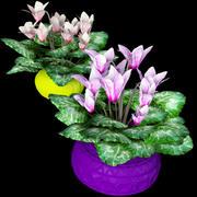 Cyklamen Rośliny 3d model