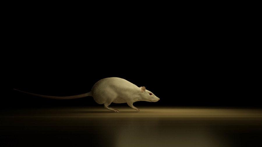 Rigged Mouse Rat z przemieszczeniem i normalnymi mapami 8k royalty-free 3d model - Preview no. 5