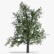 Yaprak Döken Ağaç - Kayın 3d model