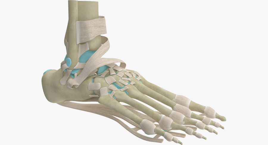 Foot Skeleton Anatomy royalty-free 3d model - Preview no. 2