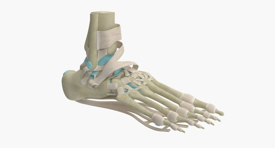 Foot Skeleton Anatomy royalty-free 3d model - Preview no. 4