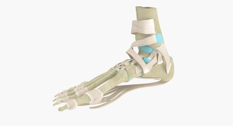 Foot Skeleton Anatomy royalty-free 3d model - Preview no. 3