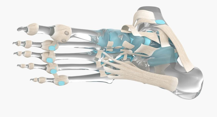 Foot Skeleton Anatomy royalty-free 3d model - Preview no. 8
