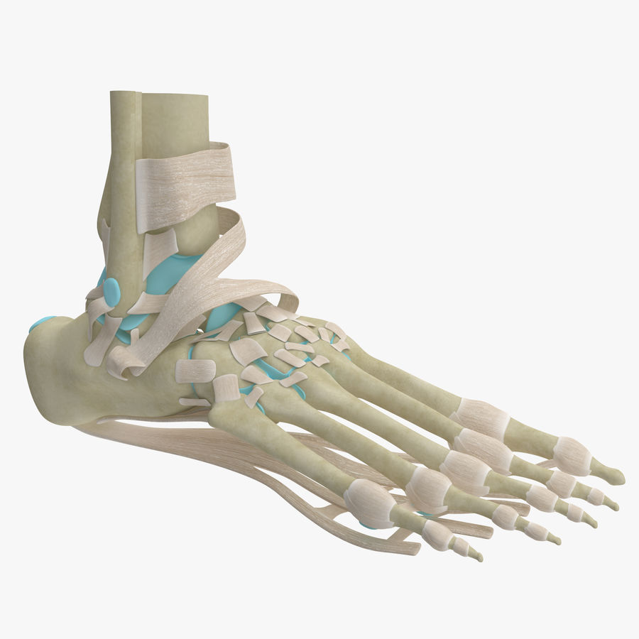 Foot Skeleton Anatomy royalty-free 3d model - Preview no. 1