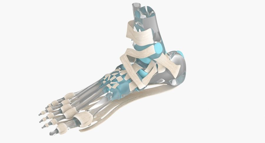 Foot Skeleton Anatomy royalty-free 3d model - Preview no. 7