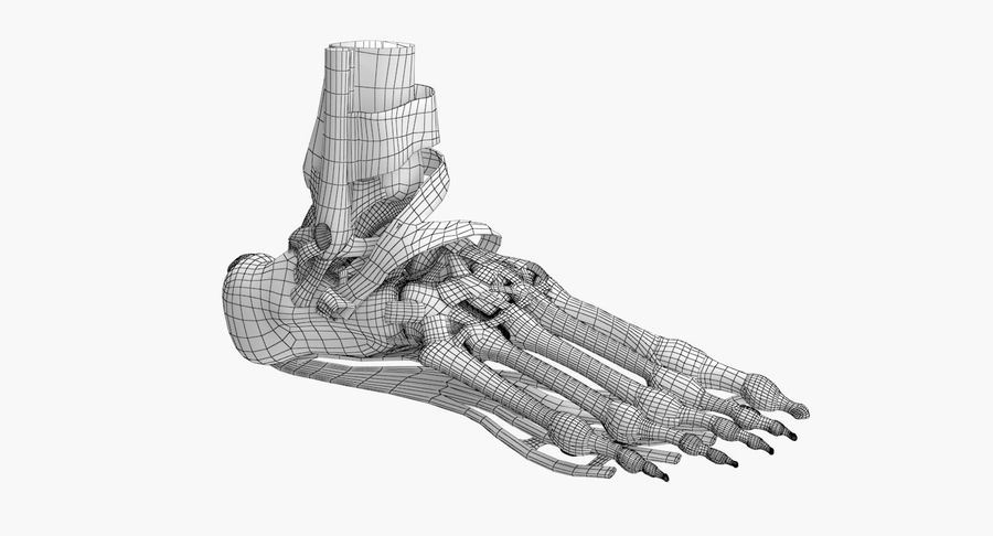 Foot Skeleton Anatomy royalty-free 3d model - Preview no. 10
