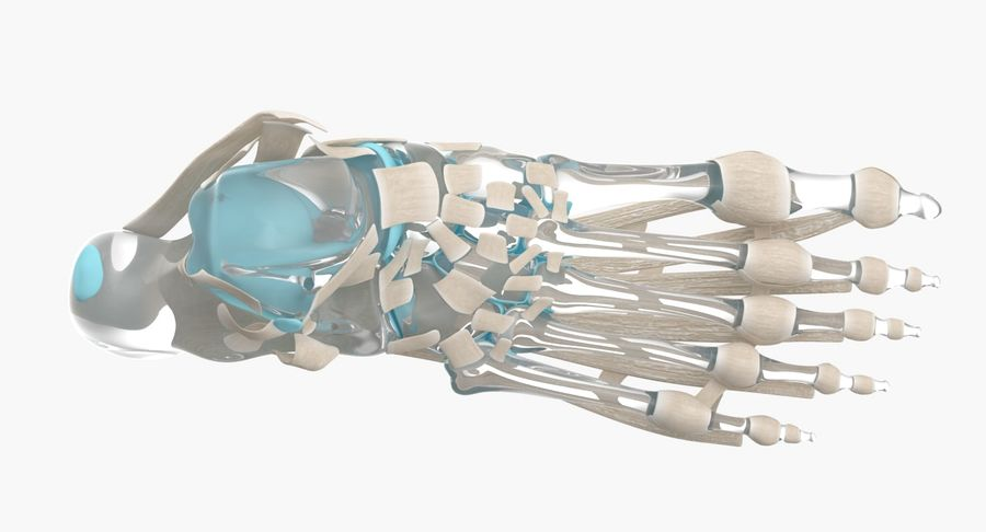Foot Skeleton Anatomy royalty-free 3d model - Preview no. 9