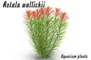 Rotala wallichii 3d model
