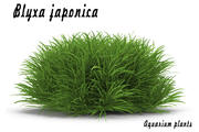 Blyxa japonica 3d model