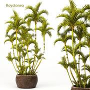 Palma królewska Roystonea 3d model