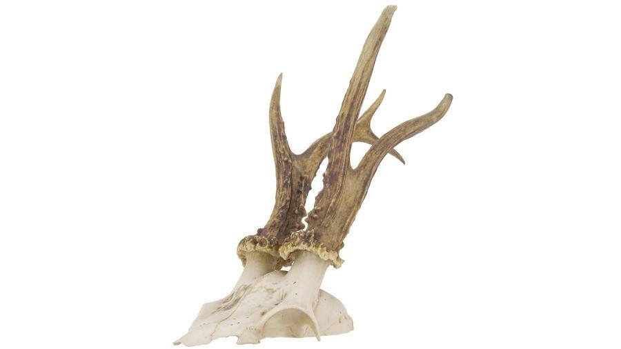 Crâne d'animal royalty-free 3d model - Preview no. 3
