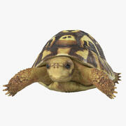 Hermann Turtle Tortoise 3d model