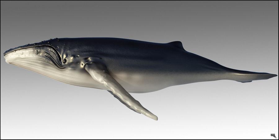 Kambur balina royalty-free 3d model - Preview no. 3