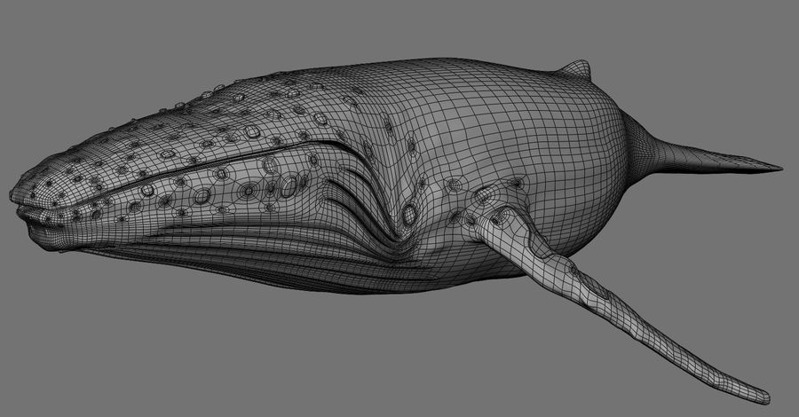 Humpback Whale royalty-free 3d model - Preview no. 9