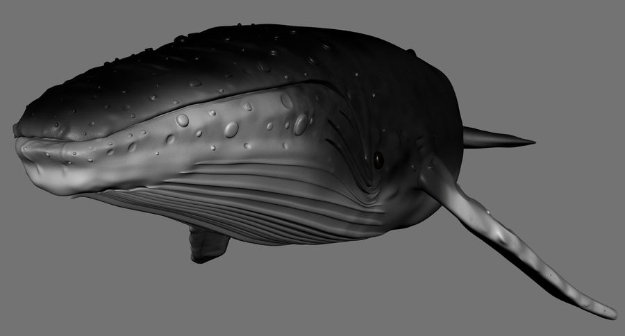 Humpback Whale royalty-free 3d model - Preview no. 4