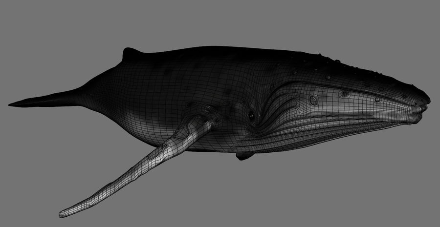 Humpback Whale royalty-free 3d model - Preview no. 14