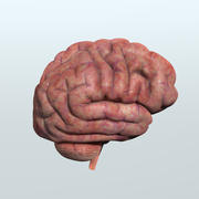 Realistic Human Brain Anatomy 3d model