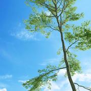 Beech tree (Fagus sylvatica 5) 3d model