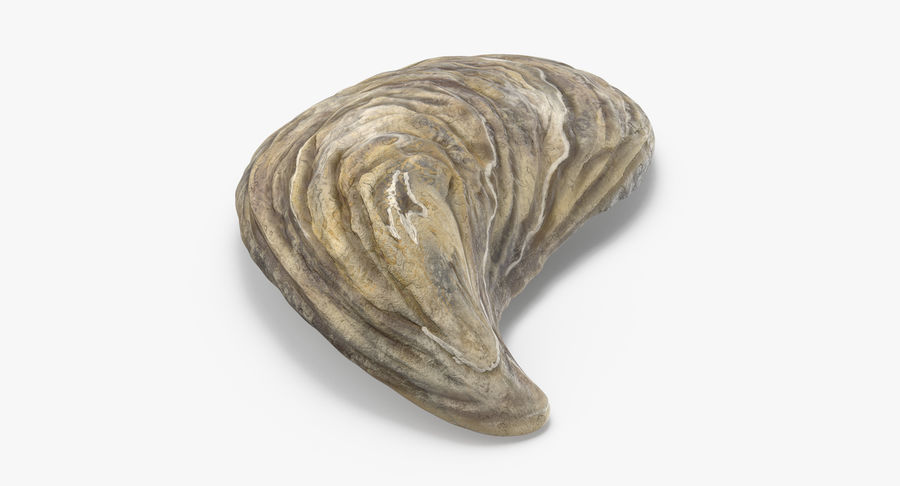 Oyster Shell 01 royalty-free 3d model - Preview no. 5
