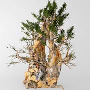 Bristlecone pine 3d model