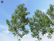 现实的白桦树1(桦木) 3d model