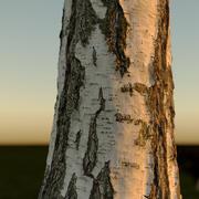 Realistic Birch Tree 1 ( betula ) 3d model