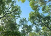 Beech Tree Collection (Fagus Sylvatica) 3d model