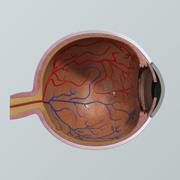 Menselijk oog anatomie dwarsdoorsnede 3d model