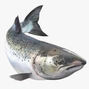 Atlantik somon balığı Yüzme poz 3d model