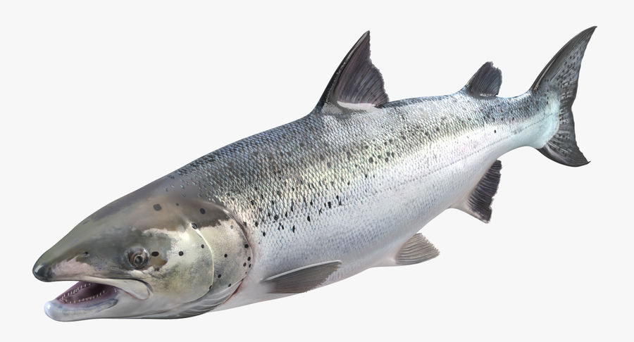 Pesce Salmone Atlantico royalty-free 3d model - Preview no. 3