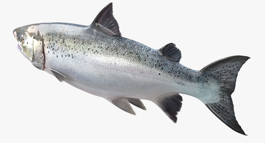 Atlantic Salmon Fish royalty-free 3d model - Preview no. 4