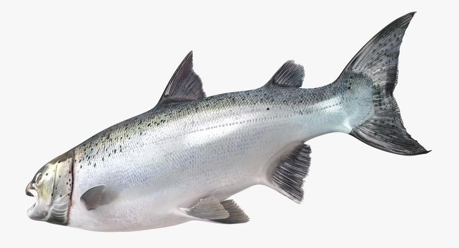 Atlantic Salmon Fish royalty-free 3d model - Preview no. 6