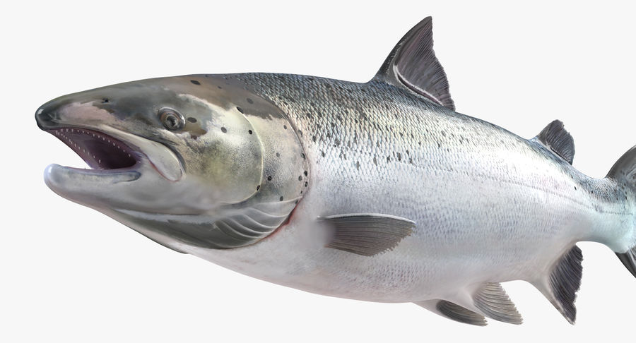 Pesce Salmone Atlantico royalty-free 3d model - Preview no. 11