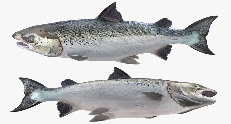 Atlantic Salmon Fish royalty-free 3d model - Preview no. 8
