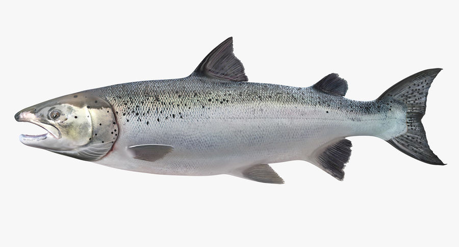 Atlantik Somon Balığı royalty-free 3d model - Preview no. 2