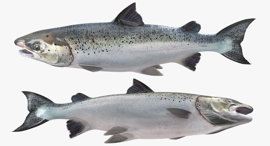 Pesce Salmone Atlantico royalty-free 3d model - Preview no. 8