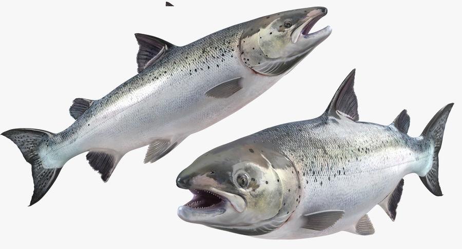 Atlantic Salmon Fish royalty-free 3d model - Preview no. 9