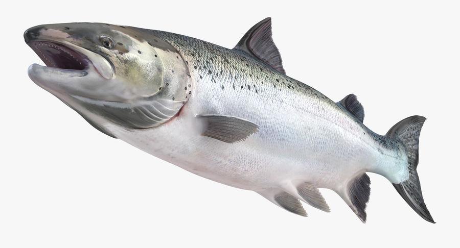 Atlantic Salmon Fish royalty-free 3d model - Preview no. 5