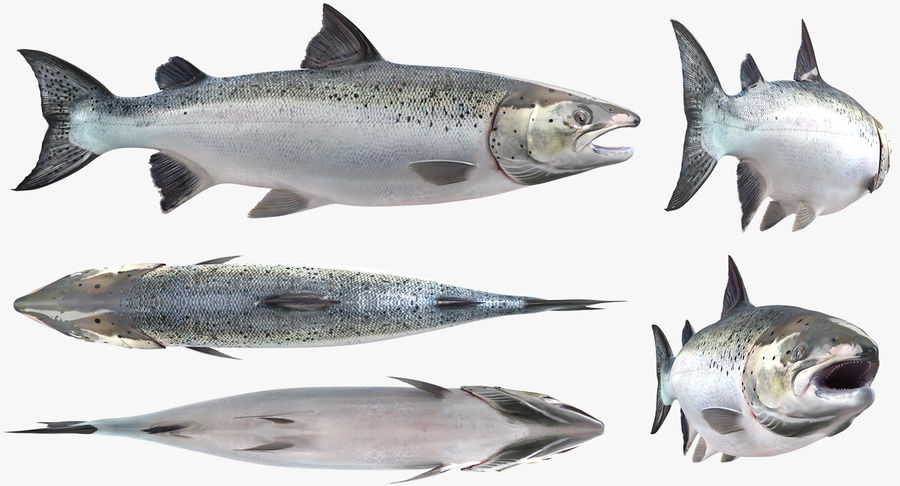 Pesce Salmone Atlantico royalty-free 3d model - Preview no. 7