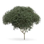 Sycamore Maple (Acer pseudoplatanus L.) 9.5m 3d model