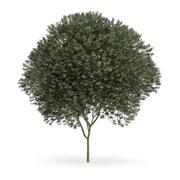 Klon jawor (Acer pseudoplatanus L.) 12m 3d model