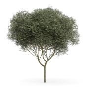 Jawor Klon (Acer pseudoplatanus L.) 11,5 m 3d model