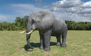 African Elephant Low Poly 3d model