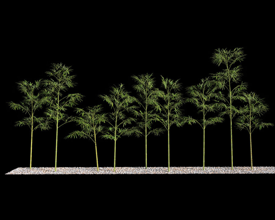 Bamboo Trees 4 (+ GrowFX) royalty-free modelo 3d - Preview no. 8