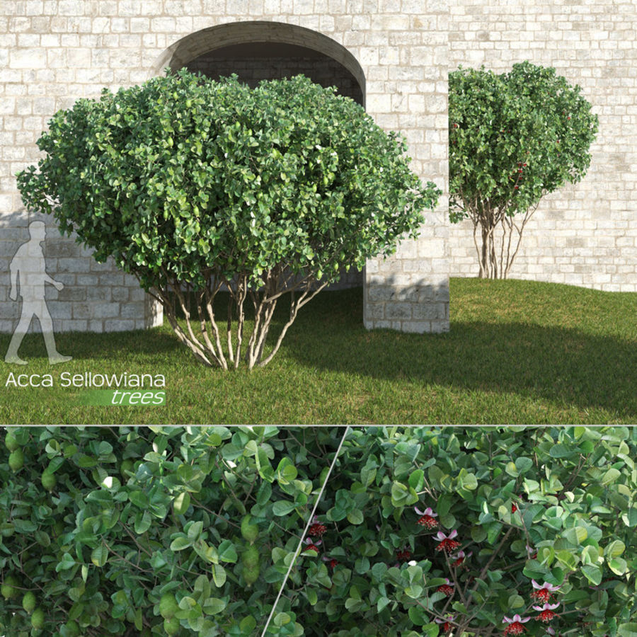 árboles Acca Sellowiana Feijoa Modelo 3d 29 Max C4d Obj Fbx