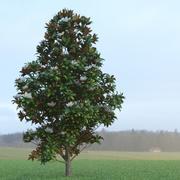 Magnolia Tree (3) 3d model